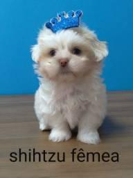 Shih Tzu acompanhados por veterinários da Clínica com todo cuidado e amor