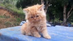 Filhotes de gato persa macho com pedigree e garantia de saúde
