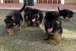 pasto alemao  Filhotes com suporte veterinário gratuito,