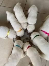 Filhotes de pastor suíço