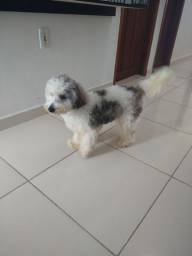 Cachorro poodlle