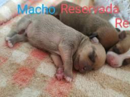Filhote de pinscher MACHO (RESERVA)