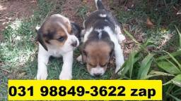 Canil Líder Cães Filhotes BH Beagle Shihtzu Lhasa Yorkshire Maltês Poodle Basset