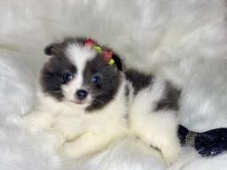 Doçura de filhote Spitz Alemão lindo