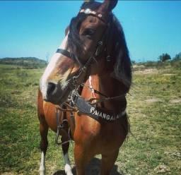 Mangalarga cavalo (Araruama)