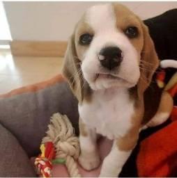 Beagle em ate 6x sem juros confira