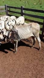 Vendo vacas cruzadas com prenhes confirmada