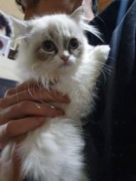 Gatos persas Disponível 90 dias whats *