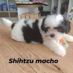 Lindo macho de shih tzu