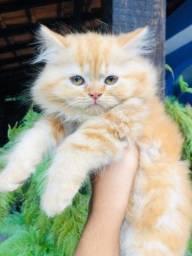 Gato persa macho lindo com pedigree e garantia de saúde