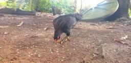 Vendo essa galinha caipira
