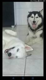 Husky Siberiano aproveite Black friday Bemol (1+6x s/ juros)