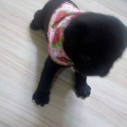 Pug Black macho