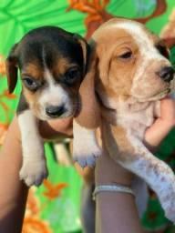 Beagle com pedipedigree e microchip em ate 18x