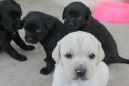 Labrador x dog pretos. 150