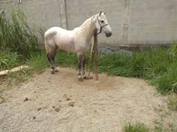 Cavalo tordilho registrado