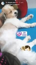 Procuro namorado pra minha cachorrinha Lhasa Apso , 3 Anos