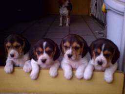Olha o seu futuro filhote de Beagle mini, 13 polegadas