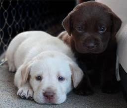 Labrador filhotinhos entregamos na sua casa!