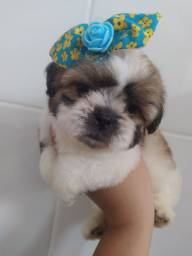 Shih Tzu micro fêmea tricolor