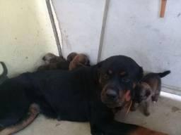 Filhotes de rottweiler com SRD 30 DIAS