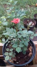 Mini rosas