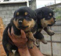 Rottweiler, o Verdadeiro Cabeça de Touro!!