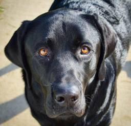 Labrador macho disponível pra cruza