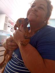 Vendido cachorro Pincher marron ele é puro nome dele Bill muito dócil e carinhoso