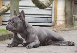 Oportunidade Bulldog Francês exótica fêmea