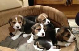 Belissimos Beagle 13 polegadas vermifugados e com garantia de saúde