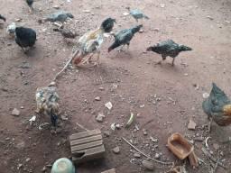 Vende galinha caipira