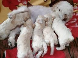 Vendo filhotes de poodle originais