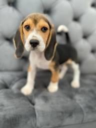 Filhote beagle macho 13 polegadas