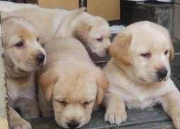 Filhotes de Labrador Macho e Fêmea Parrudos