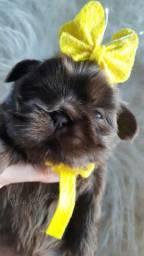 SHIH TZU CHOCOLATE FEMEAS  com  pedigree cbkc