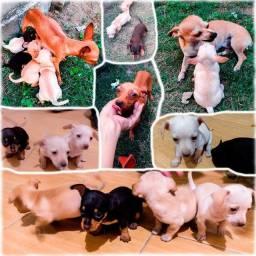 Filhotes de pinscher com chihuahua 45 dias