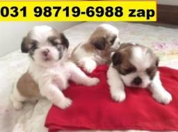 Canil Filhotes Cães Líder BH Lhasa Poodle Bulldog Pug Yorkshire Maltês Shihtzu