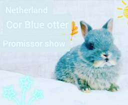 Coelho anão netlerlande Dwarf  Blue oter