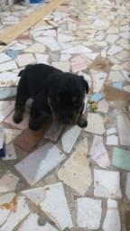 Vendo filhote de rottweiler fêmea 300 reais