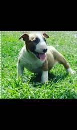 Filhotes Bull Terrier inglês