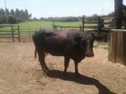 Vaca com bezerro