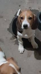 Beagle macho e fêmea