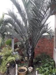 Palmeira trangular