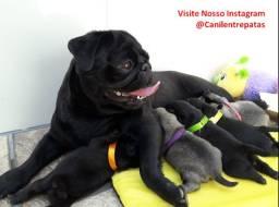 Lindos Filhotinhos de Pug com pedigree