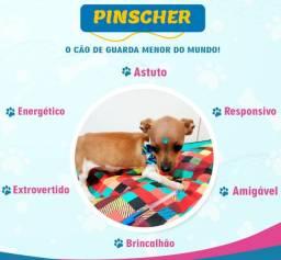 Filhotinho de Pinscher macho