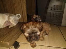 Cachorro da raça maltês com Shih Tzu