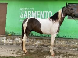 Vendo cavalo manso registrado no manga larga