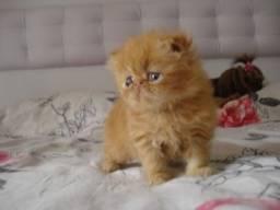 Persa lindos gatinhos !