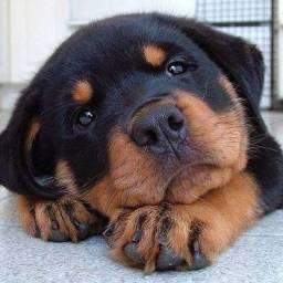 Rottweiler filhotinhos entregamos na sua casa, com garantias inclusas!